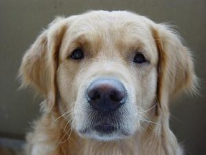 Golden-Retriever-Picture